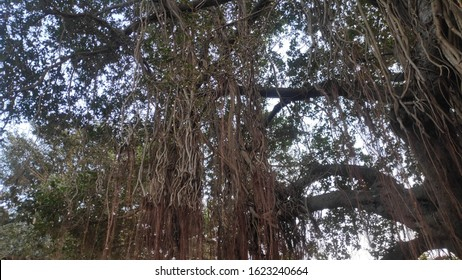 Ficus benghalensis or Banyan banyan or  Indian banyan Tree after 100 years of life and roots