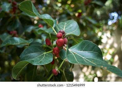 Ficus benghalensis branch with figs