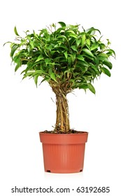 A Ficus Benjamin (ficus benjamina natasja) in a brown pot isolated on white background