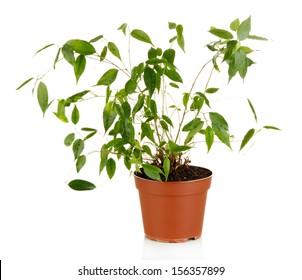 Ficus Benjamin in  flowerpot, isolated on white
