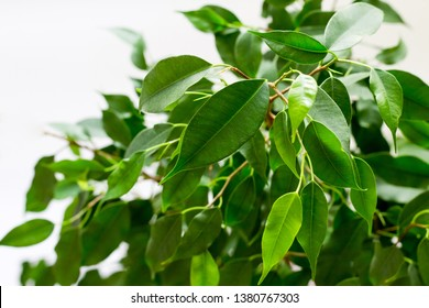 Ficus benjamin with fresh leaves on white background. Background with green leaves of a ficus.