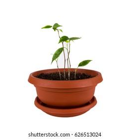 Ficus benjamin grows in the clay pot