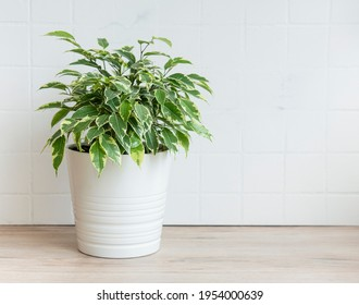 Ficus benjamin on the table, house plants