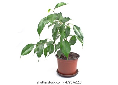Ficus benjamin in pot isolated on white