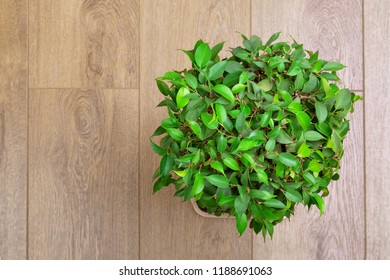 Ficus of Benjamin round shape on a wooden background, top view