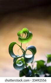 ficus benjamina barok green plant