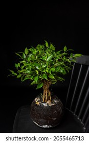 Ficus benjamina, commonly called boxwood or Indian laurel in glass pot on black barred chair