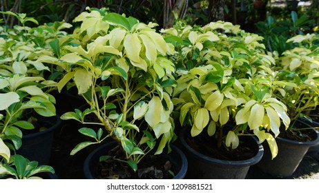 Ficus benjamina is commonly known as weeping fig, benjamin fig or ficus tree, and often sold in stores as just ficus