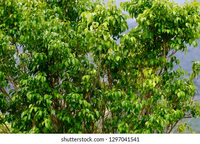 Ficus benjamina, commonly known as weeping fig, benjamin fig or ficus tree, and often sold in stores as just ficus, is a species of flowering plant in the family Moraceae