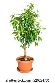 Ficus benjamina in flowerpot isolated on white background.