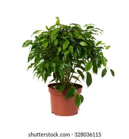 Ficus benjamina in flowerpot on white background