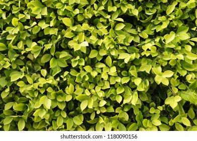 Ficus benjamina green foliage background