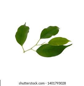 Ficus benjamina. Green leaves isolated on white background