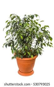 Ficus benjamina isolated on white background