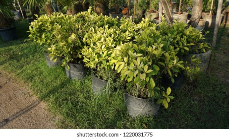 Ficus benjamina is also known as weeping fig, benjamin fig or ficus tree, and often sold in stores as just ficus, is a species of flowering plant in the family Moraceae, native to Asia and Australia