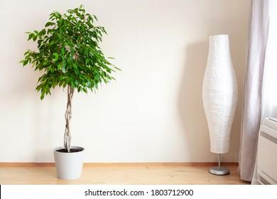 ficus benjamina large green houseplant with long braided stem