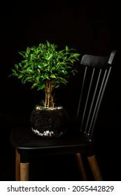 ficus benjamina perfecto para aquellos sin experiencia en jardinería en macetas de vidrio en silla negra y entorno negro. Plantas de interior verdes