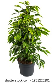 Ficus benjamina in pot. Houseplant weeping fig, benjamin fig, ficus tree isolated on white background