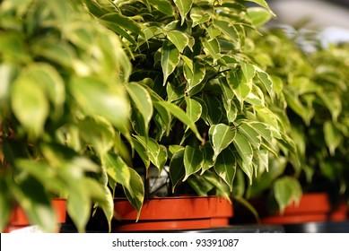ficus benjamina in pots in garden center