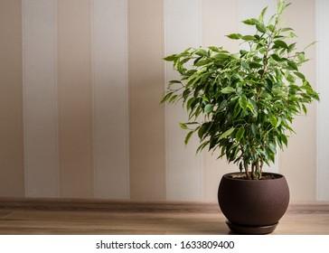 Ficus Benjamina tree or weeping fig in brown pot