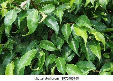 Ficus benjamina (weeping fig, benjamin fig, ficus tree) leaves with a natural background. Indonesian call it beringin, ringin or waringin