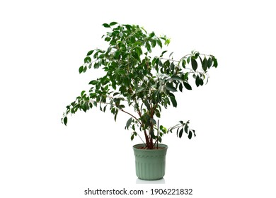 Ficus benjamina or Weeping fig houseplant on green pot isolated on white background. Green benjamin plant for decoration interior the house.