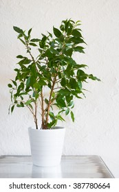 Ficus benjamina in white pot on metallic surface against white stucco wall