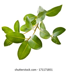 ficus branch, rubber plant  isolated on white background