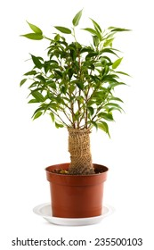 Ficus, burlap wrapped in a pot. Isolated on white. Shallow depth of field.