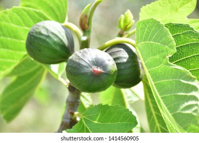 Ficus carica, fig plant, The common fig is a fruit tree of temperate subtropical climates belonging to the Moraceae family and the genus Ficus