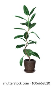 Ficus with curved stem isolated on white (pipal)