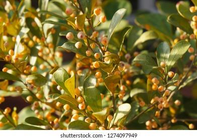 Ficus deltoidea groove leaf plant with orange berries