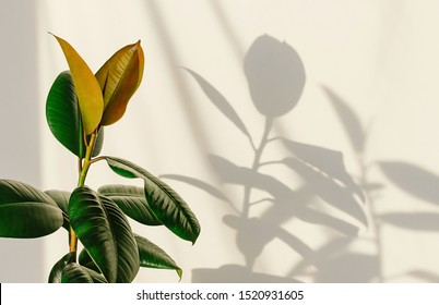 Ficus elastic plant rubber tree on a light background. Shadow of focus on the wall. Close up.