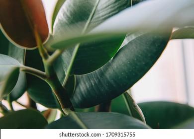 Ficus elastic plant rubber tree. Close up.