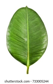 Ficus Elastica leaf isolated on a white background.