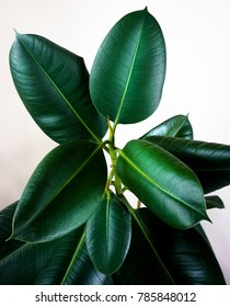ficus elastica plant close up
