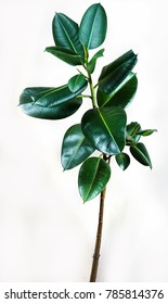 ficus elastica plant with isolated white background leaf