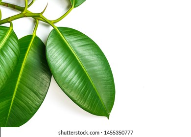 Ficus elastica, rubber fig leafs isolated white background with copy space