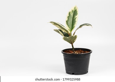 Ficus elastica variagated or Decora Tree, Indian Rubber Tree , Rubber Plant in a black pot on white background