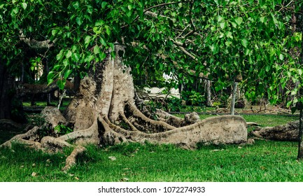 A ficus with giant roots. Recorded in Mauritius