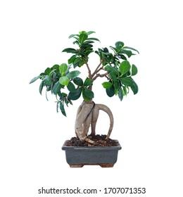 Ficus Bonsai Images Stock Photos Vectors Shutterstock