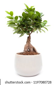 Ficus Ginseng - Bonsai tree