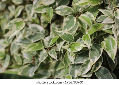 ficus kinky. branch of ficus benjamina with variegated leaves.beautiful leaves bush background. variegated leaves background. ficus benjamina starlight. close up view of ficus benjamina kinky leaves.
