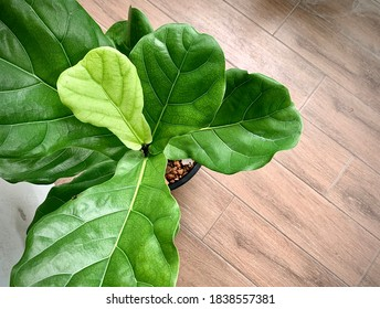 Ficus lyrata. Beautiful fiddle-leaf, fig tree plant with big green leaves in white pot. Stylish modern floral home decor in minimal style