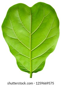 Ficus lyrate leaf isolated on white background