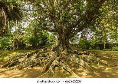 Ficus macrophylla, Australia. Antonio Borges Botanical Garden in Ponta Delgada. Ponta Delgada on the island of Sao Miguel is the capital of the Azores.