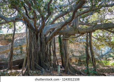 Ficus macrophylla, commonly known as the Moreton Bay fig or Australian banyan, is large evergreen tree of the family Moraceae. Close up of big banyan ficus tree with its amazing buttress roots. Sicily
