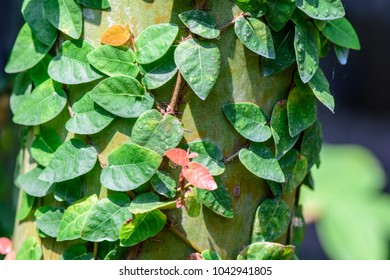 Ficus Pumila (climbing Fig, Creeping Fig, Creeping Rubber Fig) ; Creeper  Small