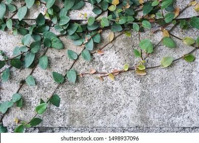 Ficus pumila (Creeping Fig) at brick wall