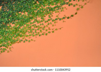 Ficus pumila tree (creeping fig or climbing fig) is a species of flowering plant in the mulberry family, native to East Asia growing on orange color wall with space for text.